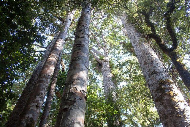 Fate of Paturoa kauri again up in the air