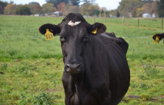20 pregnant cows to be saved from slaughter