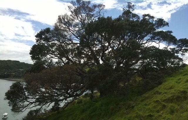 Dieback bug kills pōhutukawa at Waiheke's Matiatia Bay